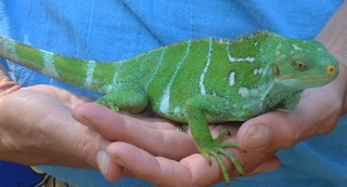 This Crested Iguana is held at the Kula Eco-Center and is used to being handled