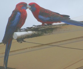 Crimson Rosellas on a roof top in a Victoria park