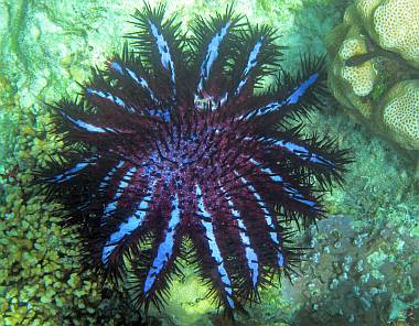Crown of Thorns Starfish have poisonous spines