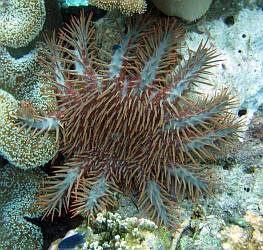 A pale blue variation of the Crown of Thorns Starfish, Indonesia