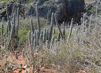 Cacti of the Curacao countryside