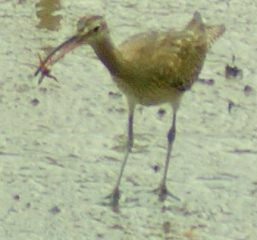 Curlew.  Either Eurasian or Far Eastern
