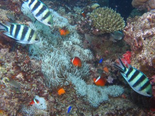 Damselfish and anemonefish abounded at Treasure Island