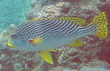 diagonal banded sweetlips