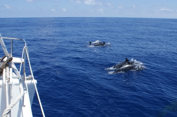Pantropical Spotted Dolphins play on the bow of Ocelot