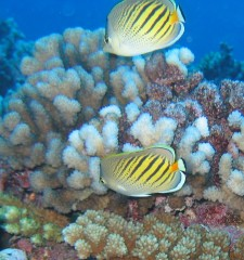 Dot and Dash Butterfly fish adorn a French Polynesian reef