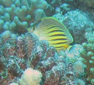 Dot and Dash ButterflyFish