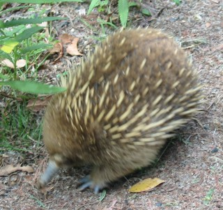 A spiny echidna moving fast!
