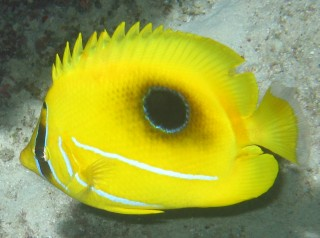 "The Eclipse Butterflyfish with its occluded ""sun"""