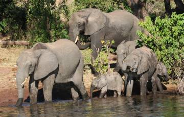 Elephants come to drink at Chobe N. Park, Botswana