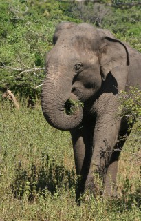 Wild elephants freely roam Yala National Park