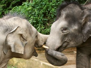 Elephant friends, at Kuala Gandah Sanctuary