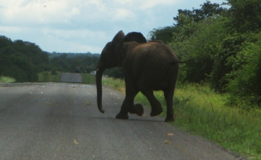 Not in a park! Elephant on the road, Botswana