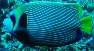 The beauitful Emperor Angelfish