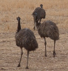 Emus on the fields of Victoria