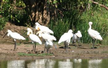 White (Eurasian) Spoonbills in Yala National Park