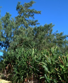 Typical shoreline in Tonga: graceful casuarina pines stand tall above pandanus.