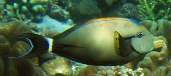 The Eye-Stripe Surgeonfish we saw in Indonesia