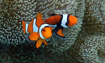 False Clown Anemone Fish, Kabui Cut, Raja Ampat