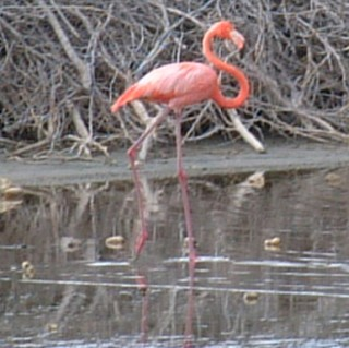 American Flamingo in a Bonaire salt pond.