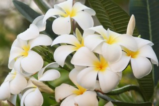 Fragrant white and yellow frangipani, not a native, but common
