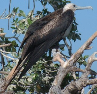 Magnificent Frigate bird - amazing flyers