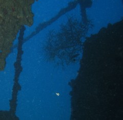 Bushy Black Coral inside the wreck