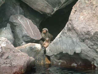 Fur seals hang out in caves and cliffs, not beaches like the sea lions.
