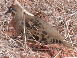 The Galapagos Dove is a quiet little bird, often found right on the side of the trail.