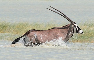 A real treat to see a desert Gemsbok in water
