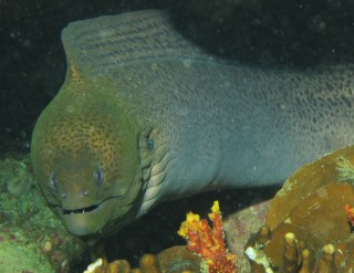 A giant moray peers out at Christopher, the photographer