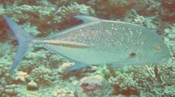 Demonic Giant Trevally cruise the passes in the Tuamotus