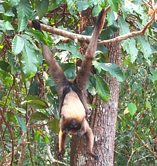 A gibbon mother and baby suspended in a tree