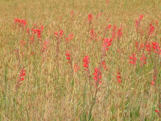 Gladiolas brighten the rows of wheat in an Andean field.