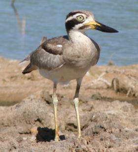 A Great Thick-Knee on the rocky coast of Yala National Park.