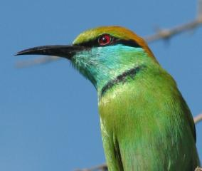 The colorful Green Bee-Eater