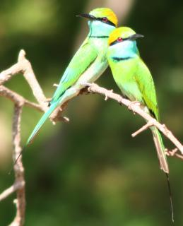 Two Green Bee Eaters perched in Yala National Park