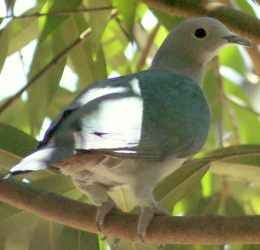 Green Imperial Pigeon, Borneo