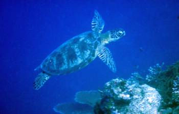 Green turtles are common in Maratua, Kalimantan