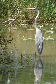 Grey Heron in a pond in Yala National Park