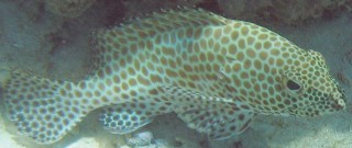 Honeycomb Grouper in New Caledonia