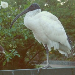 White Ibis perched on railing in Brisbane Botanic Garden