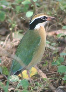 The colorful and squat Indian Pitta