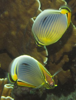 Hello, Indian Redfin Butterflyfish
