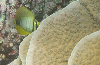 A juvenile Indian Sailfin Tang nose down in coral