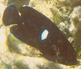Keyhole Angelfish appearing black instead of blue