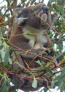 Koalas spend most their time in trees where they eat and sleep.