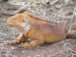 A sly look -- Land iguana on Santa Cruz Island