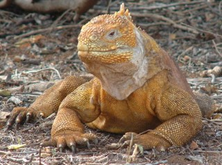 Land iguanas liked to rest in the shade of thorn bushes