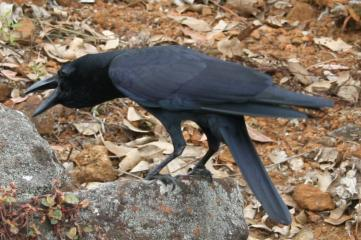 A large-billed crow, cawing